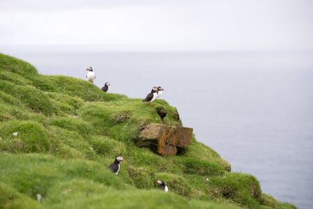 fratercula: Atlantic puffins, Fratercula arctica sitting on a cliff in its colony on the Faroe Islands