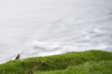 ingestion: Meadow pipit, Anthus pratensis with food on grass on the Faroe Islands Stock Photo