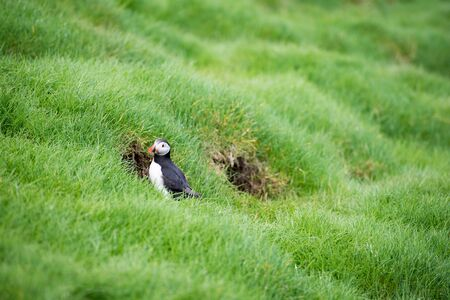 fratercula: Atlantic puffins, Fratercula arctica sitting on grass on the Faroe Islands in front of its burrow