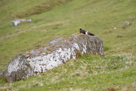 morph: Arctic skua, Stercorarius parasiticus in a dark and a white morph sitting on a stone