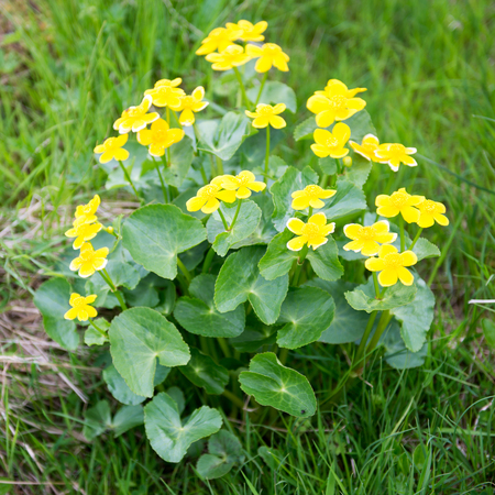 marsh plant: Marsh Marigold, Caltha palustris plant and yellow flowers on the Faroe Islands