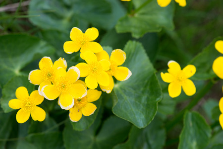 Marsh Marigold, Caltha palustris plant and yellow flowers on the Faroe Islands