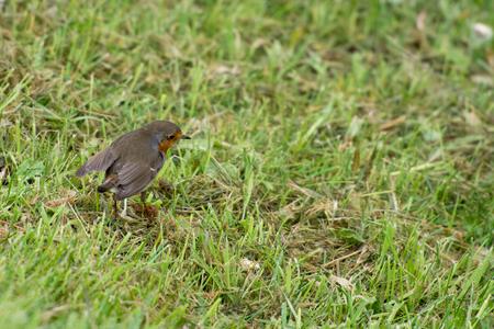 robin bird: Robin bird, Erithacus rubecula on grass Stock Photo