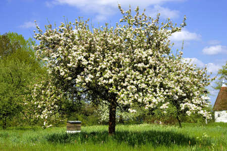 blosom: apple tree Stock Photo