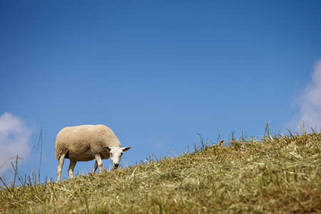 Sheep grazing on a hill photo