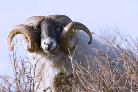 Male sheep with curled horns photo