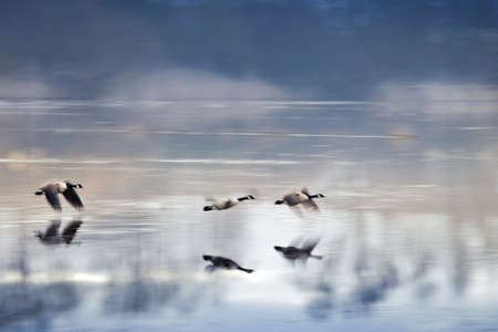 Ducks flying up at the Bourgoyen nature reserve near Ghent, Belgium