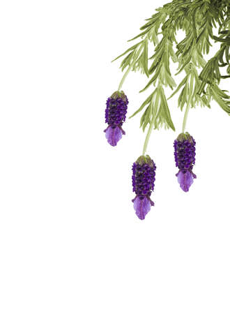 Lavender flowers isolated on white background photo
