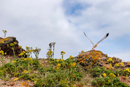 Herring gull taking off from a rock in the Berlengas nature reserved