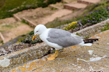 Herring gull looking down on the valley Banco de Imagens