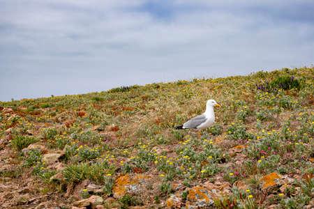 Single herring gull in a field of wild flowers
