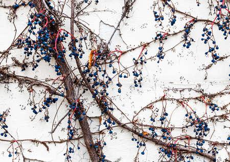 Urban texture - creeper plant on a white wall Banco de Imagens