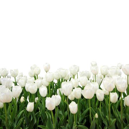Isolated white tulips Stock Photo