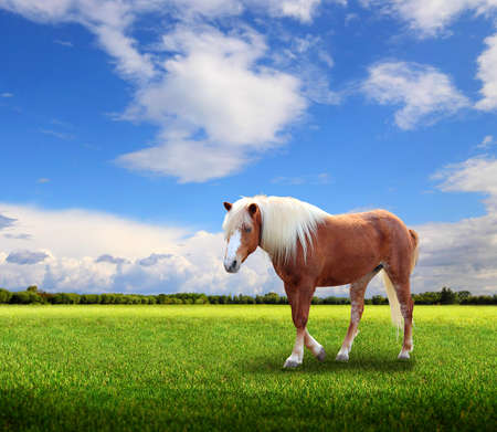 Horse at the meadow