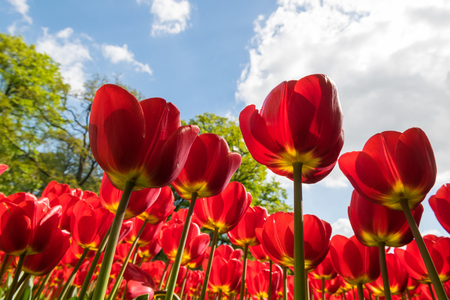 Low angle view of vibrant red tulips Archivio Fotografico