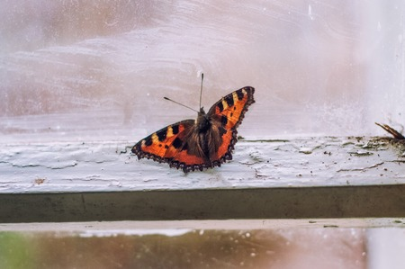 tends: Butterfly woke up in the winter melted house. it tends to light Stock Photo