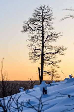 Lone goodly Pine in the snow at sunset in the mountains photo