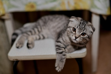 lop eared: Scottish fold cat is lying on the stool and looks attentive, intelligent expression Stock Photo