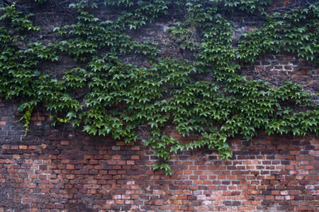 Old brick wall overgrown with green vine photo