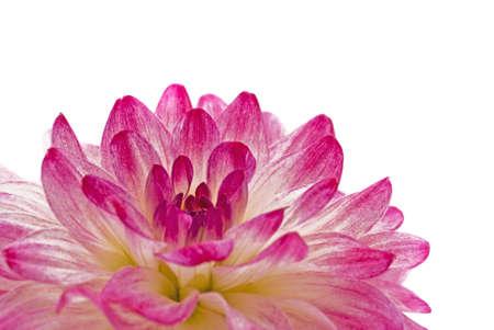 georgina: Close-up - pink dahlia (georgina), isolated over white Stock Photo