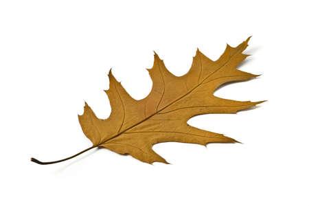 Autumn. Beautiful maple leaf over white photo