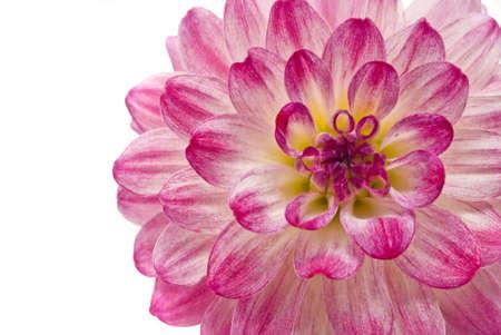 georgina: Close-up of pink dahlia (georgina), isolated over white