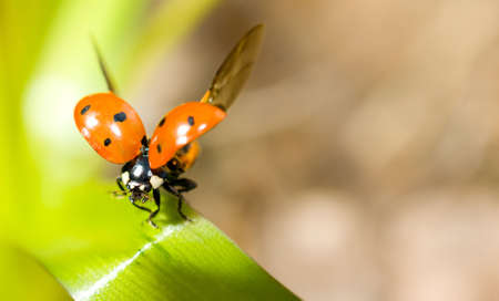 Ready to fly. Closeup of ladybird on green grass photo