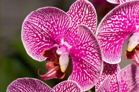 pedicel: Close-up of cymbidium or orchid in Keukenhof, Netherlands