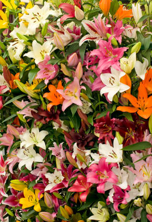 Lily from Keukenhof park. Colorful Flower background or texture. Stock Photo - 7377807