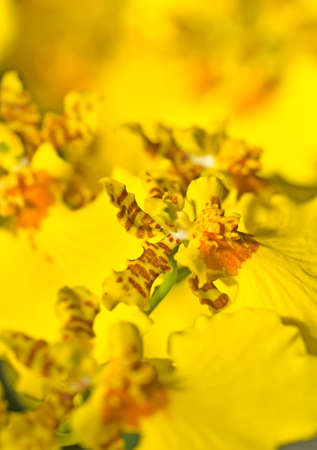 perk: Close-up of Oncidium orchid flower in Keukenhof perk, Netherlands