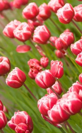 Angle shot of red Dutch tulips flowerbed in Keukenhof park in Holland photo