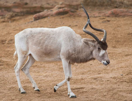 Addax or Mendes antelope: wildlife in Africa. Strepsicerotini