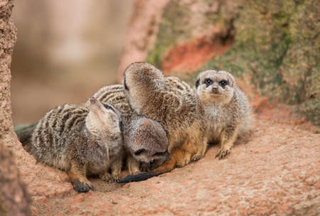 watchful: Look out: watchful meerkats.Animal life in Africa