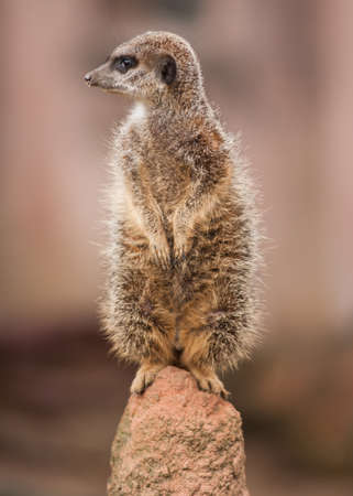 watchful: Alertness: watchful meercat on the mound. wildlife in Africa