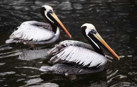 Peruvian Pelicans in the water: birds from west coast of South America photo