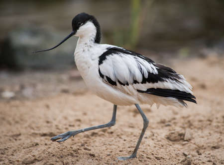 wader: Pied avocet: black and white wader walking on sand