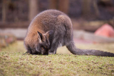 Marsupials: Wallaby feeding on the grass. Animal life of Australia photo