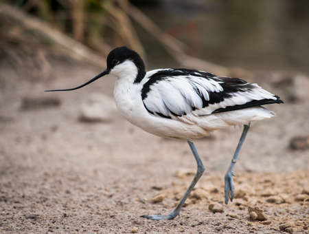 wader: Wader: black and white Pied avocet on the beach