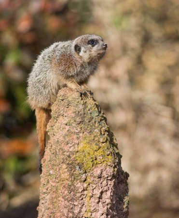 watchful: Alert: watchful meercat on the mound. Animal life in Africa