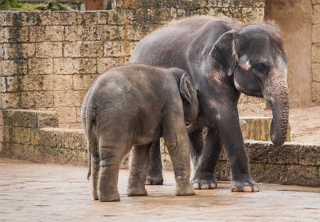 Feeding the elephant calf by female. Animal life in Asia Stock Photo - 16450080