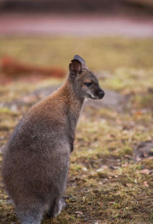 Marsupials: Wallaby in zoo. Animal life of Australia photo