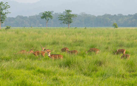 Sika or dappled deers in the wild. Captured in the jungle. Wildlife and animal photo