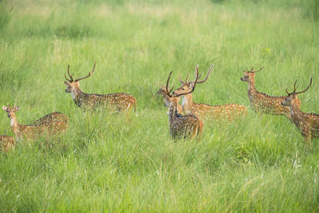 Sika or spotted deers herd in the elephant grass. Stock Photo