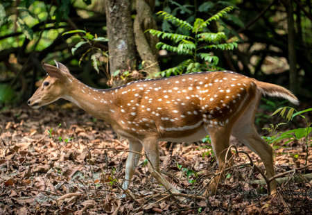 spotted or sika deer in the jungle.