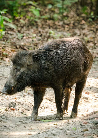 Wild boar male feeding in the jungle in Asia. Wildlife and animal photo