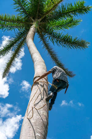 Adult male climbs tall coconut tree with rope to get coconuts. Harvesting and farmer work in caribbean countries