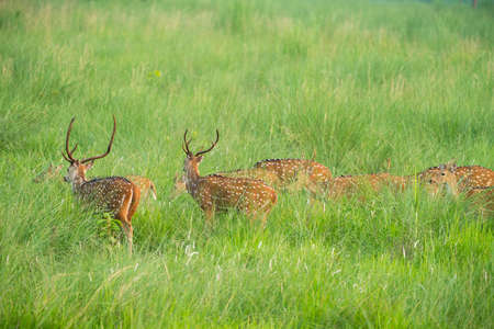 Sika or spotted deers herd in the elephant grass. Wildlife and animal photo. Japanese deer Cervus nippon