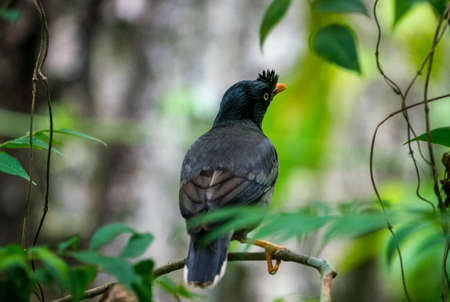 jungle myna bird. captured in the wild Acridotheres fuscus. Birdwatching