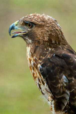 red-tailed hawk or Buteo jamaicensis close-up portrait. Wildlife photo Stockfoto