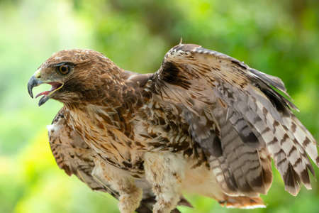 red-tailed hawk or Buteo jamaicensis close-up portrait. Wildlife photo